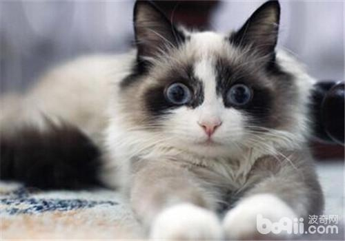 如何让猫咪适应新环境-成猫饲养